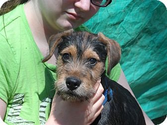 Schnauzer (Miniature) Mix Puppy for adoption in Bedford, Virginia - Rascal
