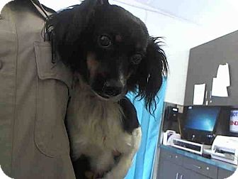 Cavalier King Charles Spaniel/Papillon Mix Dog for adoption in Milan, New York - Gracie