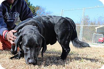 Labrador Retriever/Basset Hound Mix Dog for adoption in Windham, New Hampshire - Bo