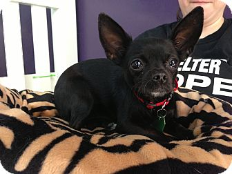 Chihuahua Mix Puppy for adoption in Thousand Oaks, California - Queen Latifah
