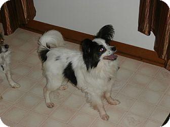 Papillon Dog for adoption in Washington, D.C. - Austin (bs)
