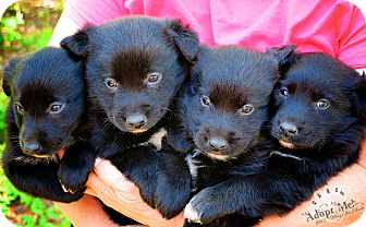 Australian Shepherd/Labrador Retriever Mix Puppy for adoption in Wilmington, Delaware - Aussie pups