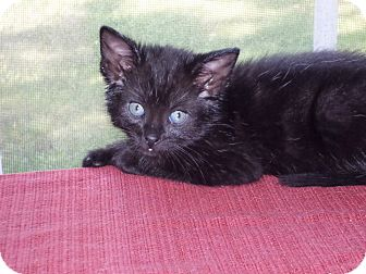 Domestic Mediumhair Kitten for adoption in Ocean Springs, Mississippi - Rush