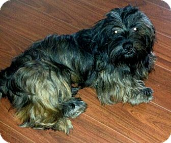 Havanese Mix Dog for adoption in Mary Esther, Florida - Wiggles