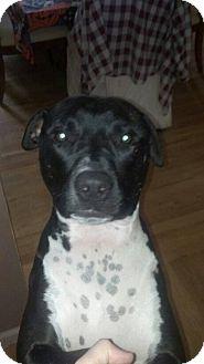 American Pit Bull Terrier Mix Dog for adoption in Oakland Gardens, New York - Rosco