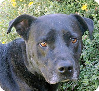 Labrador Retriever Mix Dog for adoption in Portola, California - Flint