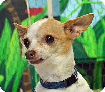 Chihuahua Mix Dog for adoption in Searcy, Arkansas - Buddy