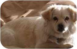 Pekingese/Spitz (Unknown Type, Small) Mix Dog for adoption in Dodge City, Kansas - Ladybug