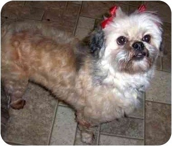 Lhasa Apso Dog for adoption in Los Angeles, California - PAIGE