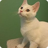 Adopt A Pet :: Sugar - Edmond, OK