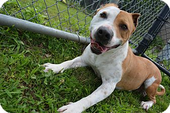 American Staffordshire Terrier Mix Dog for adoption in Bay Shore, New York - Miss. Patti