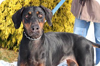 Doberman Pinscher Dog for adoption in Elyria, Ohio - Justice
