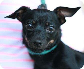 Miniature Pinscher Mix Puppy for adoption in Canoga Park, California - Harry