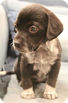 Beagle/Blue Heeler Mix Puppy for adoption in Hagerstown, Maryland - Kyss