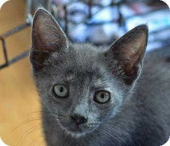 Domestic Shorthair Kitten for adoption in Philadelphia, Pennsylvania - Fledermaus