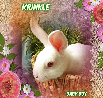 Other/Unknown for adoption in Pacific Grove, California - KRINKLE