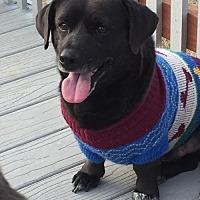 Dachshund/Corgi Mix Dog for adoption in Fresno, California - Oscar