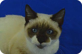 Snowshoe Cat for adoption in LAFAYETTE, Louisiana - PANDA