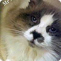 Adopt A Pet :: Mr. McFluffers - Bentonville, AR