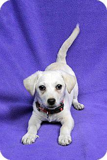 Labrador Retriever Mix Puppy for adoption in Westminster, Colorado - Roxanne