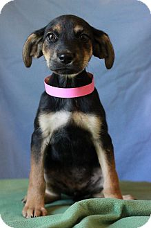 Doberman Pinscher Mix Puppy for adoption in Waldorf, Maryland - Dory ADOPTION PENDING