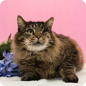 Domestic Mediumhair Cat for adoption in Houston, Texas - Hank