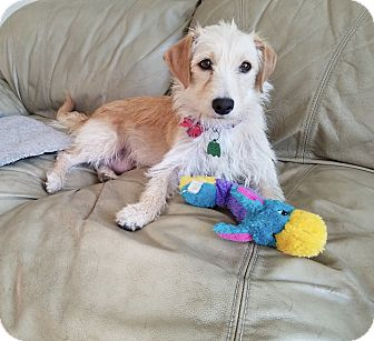 Terrier (Unknown Type, Small)/Dachshund Mix Dog for adoption in Denver, Colorado - Violet