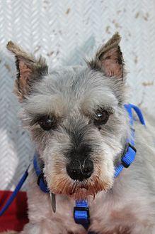 Schnauzer (Miniature) Dog for adoption in Sullivan, Missouri - Spencer