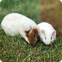 Adopt A Pet :: Ann Wilson Pig (Bonded with Little Queen) - Redmond, WA
