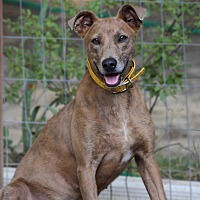 Mountain Cur/Shepherd (Unknown Type) Mix Dog for adoption in Pittsboro, North Carolina - Libby