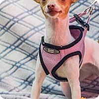 Adopt A Pet :: Tinkerbell - Evansville, IN