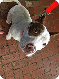 American Pit Bull Terrier/Bull Terrier Mix Puppy for adoption in Broken Arrow, Oklahoma - Ameya