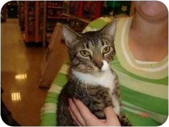Domestic Shorthair Cat for adoption in Orlando, Florida - Frazier