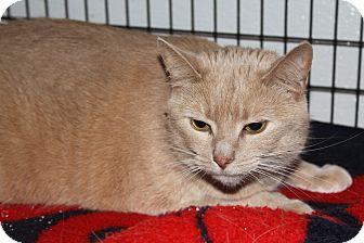 Domestic Shorthair Cat for adoption in Worcester, Massachusetts - Juliette