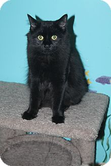 Domestic Longhair Cat for adoption in North Branford, Connecticut - Fran