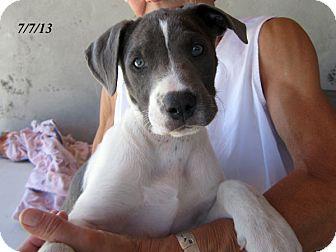 Great Dane/Australian Cattle Dog Mix Puppy for adoption in Republic, Washington - Bratwurst