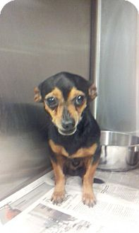 Chihuahua Mix Dog for adoption in Waldorf, Maryland - Oliver
