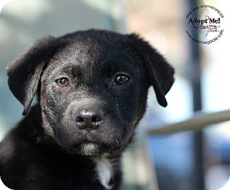 Bulldog/Shar Pei Mix Puppy for adoption in Marlton, New Jersey - Archie