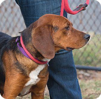 Beagle/German Shepherd Dog Mix Dog for adoption in Elmwood Park, New Jersey - Darcy