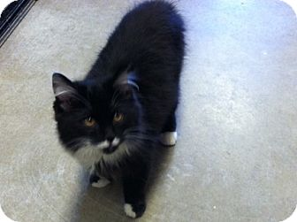 Domestic Longhair Kitten for adoption in Florence, Indiana - Sylvester