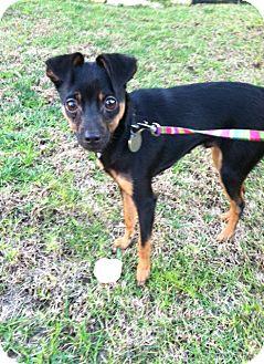 Miniature Pinscher Puppy for adoption in Oceanside, California - Teddy