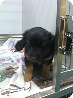 German Shepherd Dog/Golden Retriever Mix Puppy for adoption in Waterbury, Connecticut - MYA