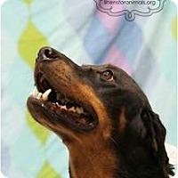 Adopt A Pet :: Elvira - McKinney, TX