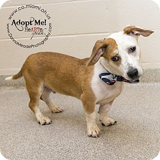 Basset Hound Mix Dog for adoption in Troy, Ohio - Scooter