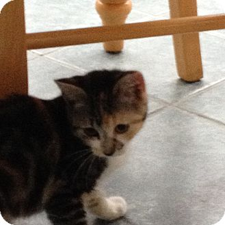 Calico Kitten for adoption in Swansea, Massachusetts - Callie