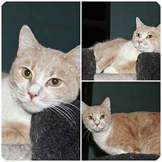 Domestic Shorthair Cat for adoption in Forked River, New Jersey - Caramel