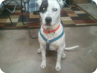 Pit Bull Terrier Mix Dog for adoption in Wichita Falls, Texas - Oreo