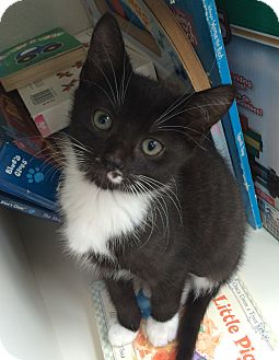 Domestic Shorthair Kitten for adoption in Winchendon, Massachusetts - Smokey