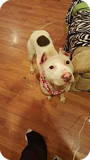 American Pit Bull Terrier Mix Dog for adoption in Charlotte, North Carolina - VICTORIA