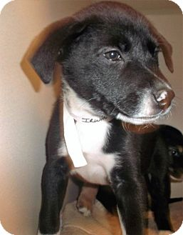 Shepherd (Unknown Type) Mix Puppy for adoption in Milton, New York - Irwin
